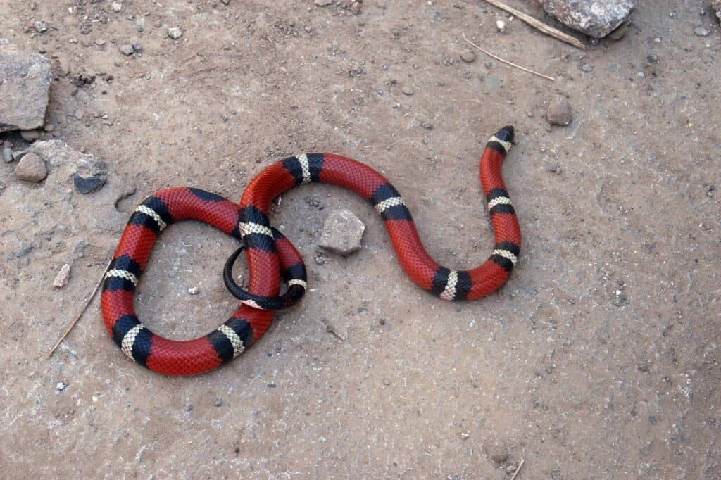 Snakes in Mexico: Coral Snake
