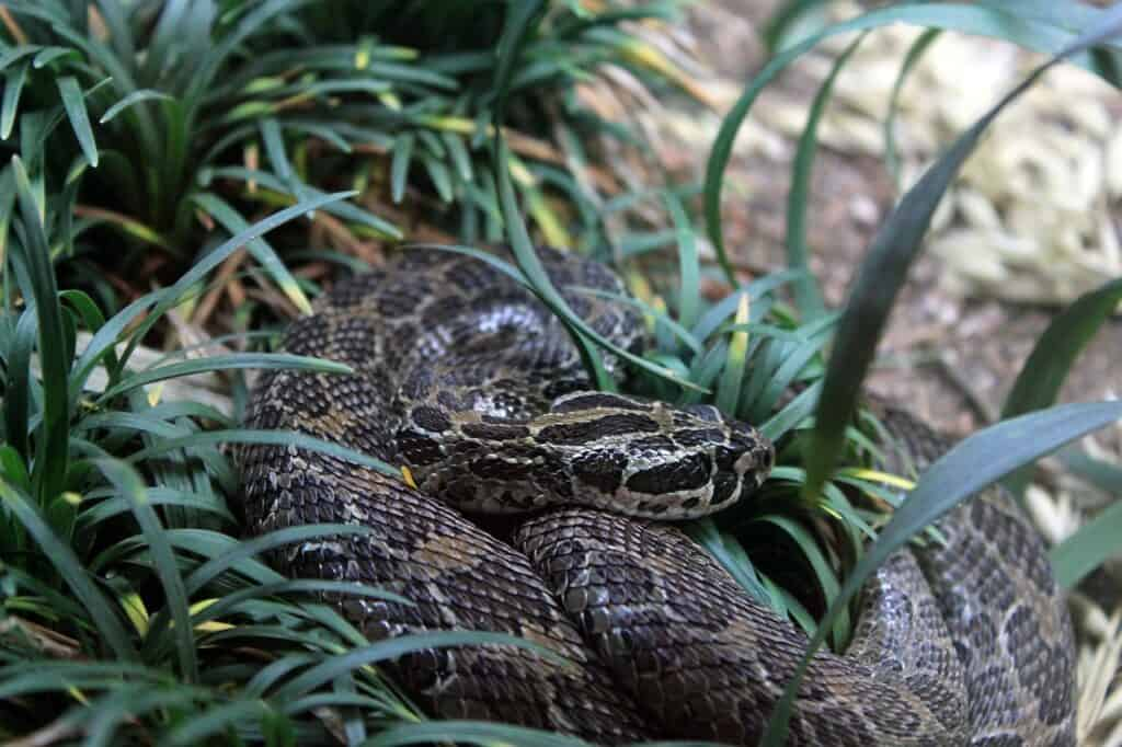 mexican rattlesnake